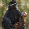 Mother Francois Langur with orange colored baby