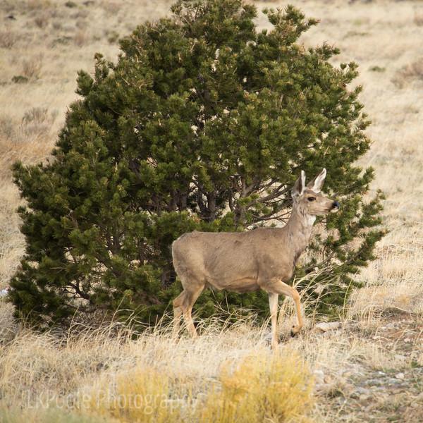 Mule Deer Alert