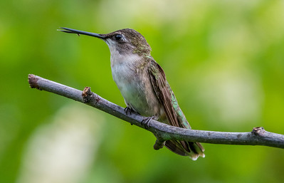 Ruby-Throated Hummingbird 7/24/18