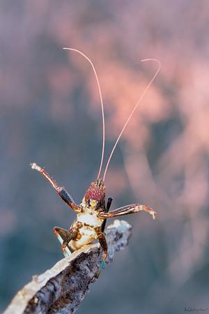 The Blue Legged Cricket