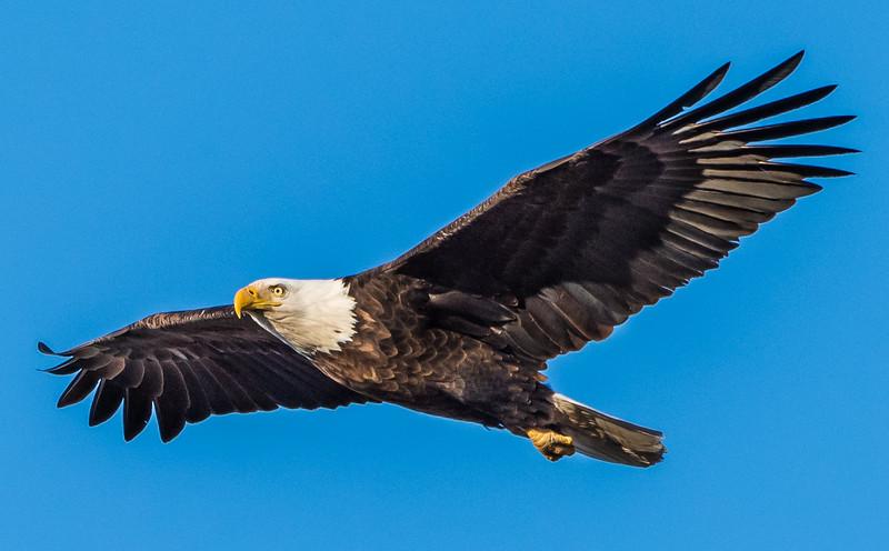Watertown Bald Eagle 2015