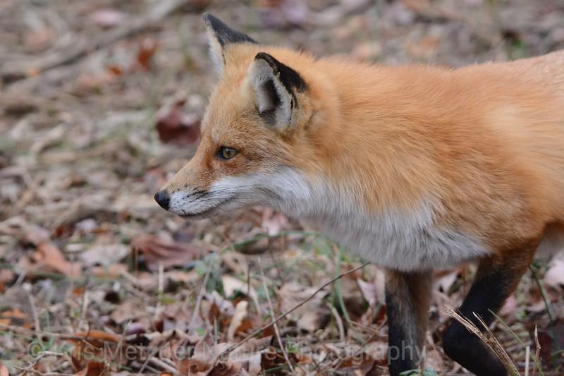 Red Fox III