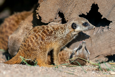 Young meerkats playing