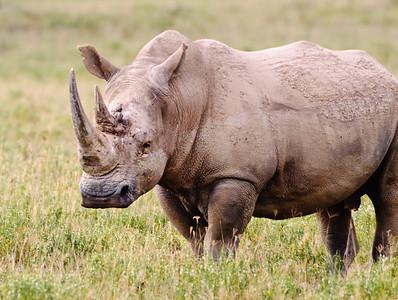 White Rhinoceros, Nikuru, Africa.