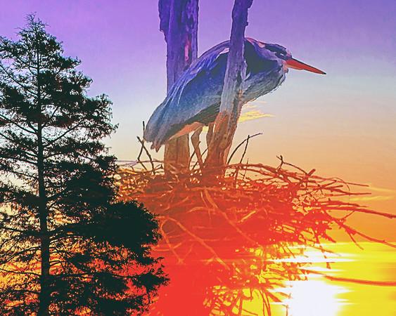 Nesting Heron - Summertime