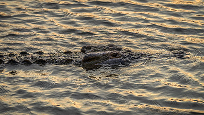 Nile Crocodile, Kruger National Park