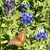 Variegated Fritillary Butterfly and Bluebonnet wildflowers