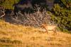 Elk cow, Rocky Mountain National Park