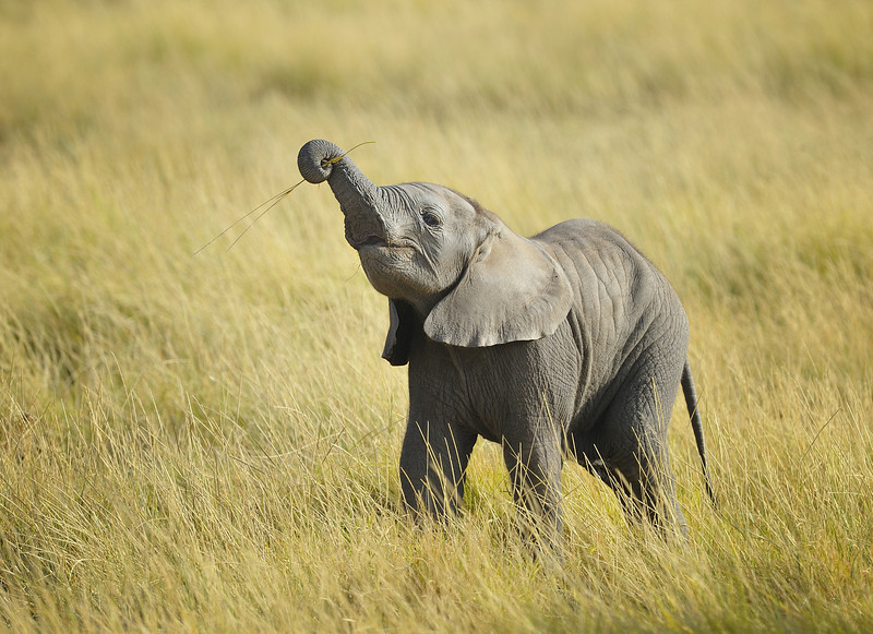 Baby Elephant Learning to Eat Grass, Kenya, East Africa