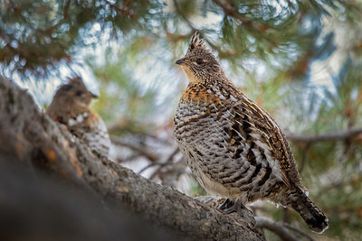 Grouse in a Pine