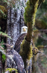 Bald Eagle's in British Columbia Great Bear Rain Forest