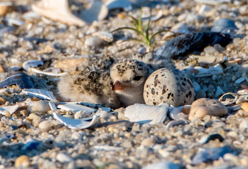 Least Tern Chick 6/18/16