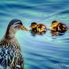 Mother Duck watching her Ducklings