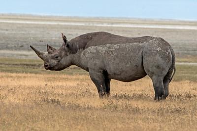 Black African Rhinoceros