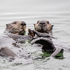 Two Sea Otters Sharing a Clam, Moss Landing