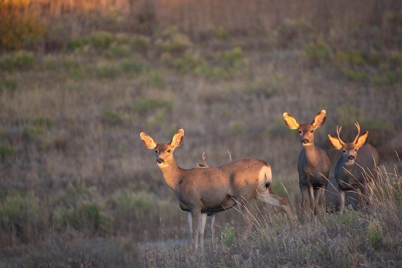 Mule Deer at last light in southern Colorado