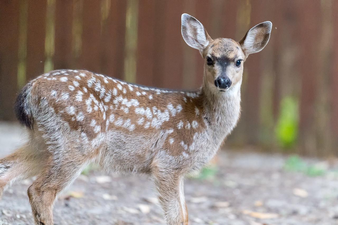 Young doe in backyard
