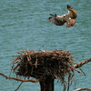 Aug 1 - Osprey <br /> <br /> I was fortunate to be around this nest when one of the Osprey came in with a fish!  The fish is hard to see at this angle.  I think it is interesting to see the size of the bird compared to its large nest!<br /> <br /> Thanks so much for all your comments on my black and white image of the train engine!