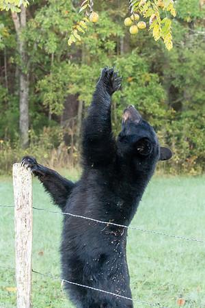 Bear #4 reaching