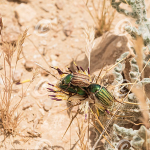 Three Green Striped Scarab Beetle on a Thistle Flower