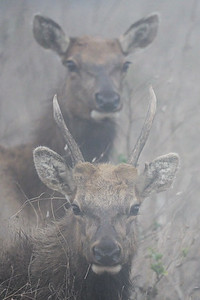 Tule Elk in Heavy Fog