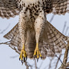 The Bottom Half of a Red-Tailed Hawk Taking Flight 1/12/17