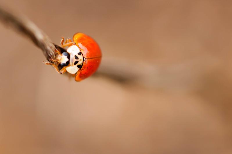 Ladybug on branch