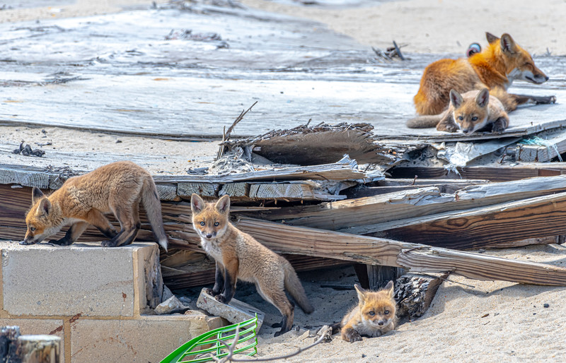 Red Fox Kits With Mama 4/27/21
