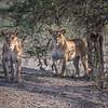 Two female lions sizing up their prey, Ndutu, Tanzania, East Africa