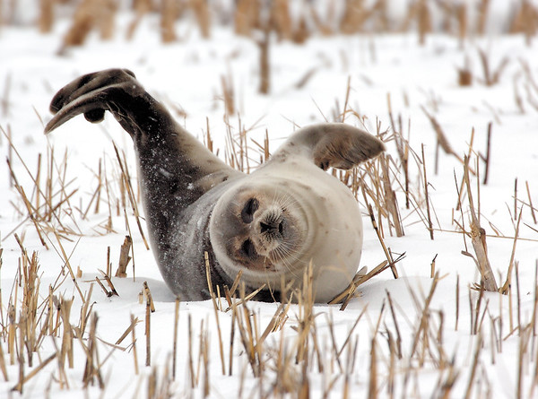 Seal on a snowy day