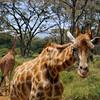 Curious Giraffe, Kenya, East Africa