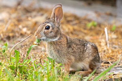 Rabbit munching on a dandelion