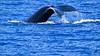 Whale Tail in the Hawaiin Islands