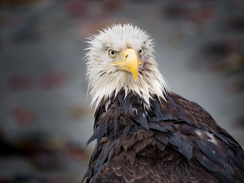 Battle scarred and soaked from a dive into the chilling cold waters of Cook Inlet, this Bald Eagle still stands tall and proud.<br /> <br /> Happy Independence Day, everyone!<br /> <br /> #OCPhotog #Wildlife #Birds #Eagle #Alaska #Kenai #AnchorPoint #Photographer #WildlifePhotography #Photography #Outdoors #IndependenceDay #July4th #USA #BaldEagle #BirdPhotographer #LookingAtYou