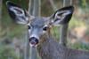 deer kisses_8594