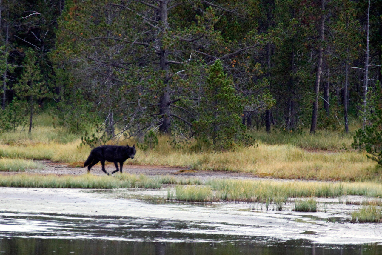 Black Wolf near Obsidian Creek -  Yellowstone National Park