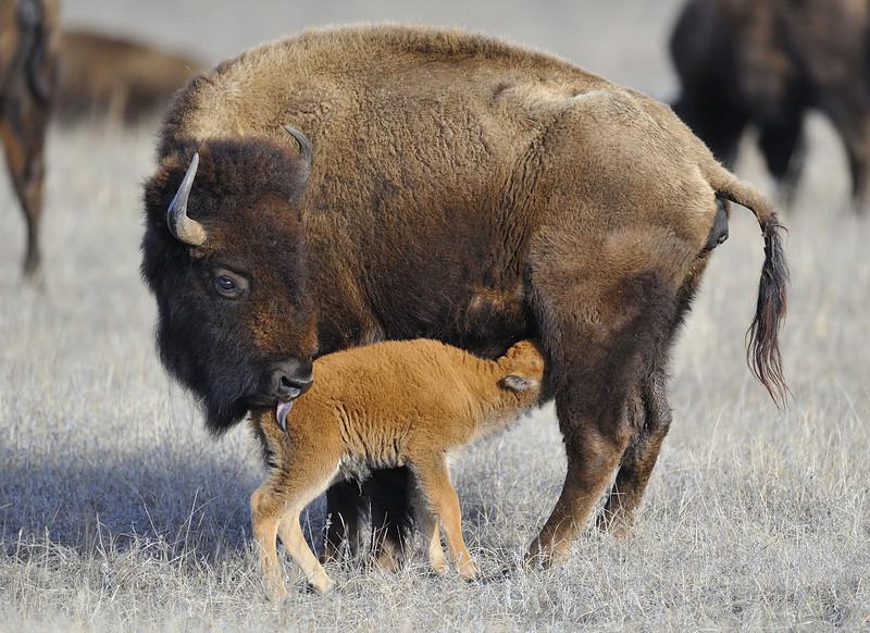 American Bison and Calf, Valentine, Nebraska