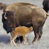 American Bison and Calf, Valentine, Nebraska