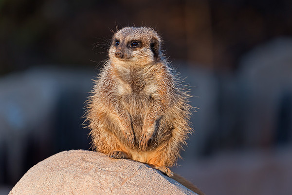 Slender-Tailed Meerkat native to Sourhern Africa