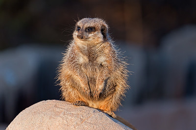 Slender-Tailed Meerkat native to Sourhern Africa