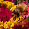 Honeybee on Zinnia 2870