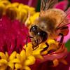 Honeybee on Zinnia 1