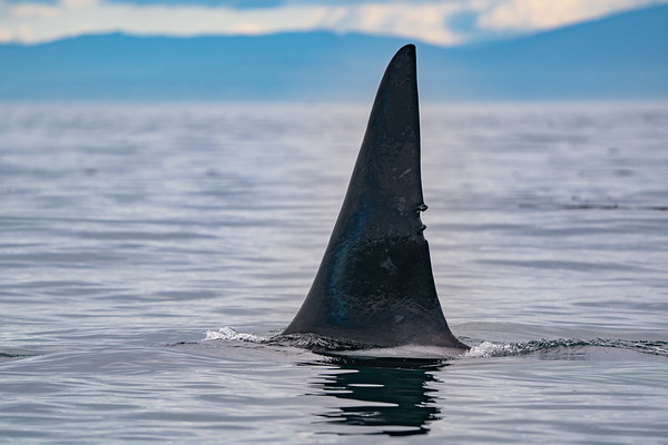 The dorsal fin of T77A, a transient orca, in the Salish Sea