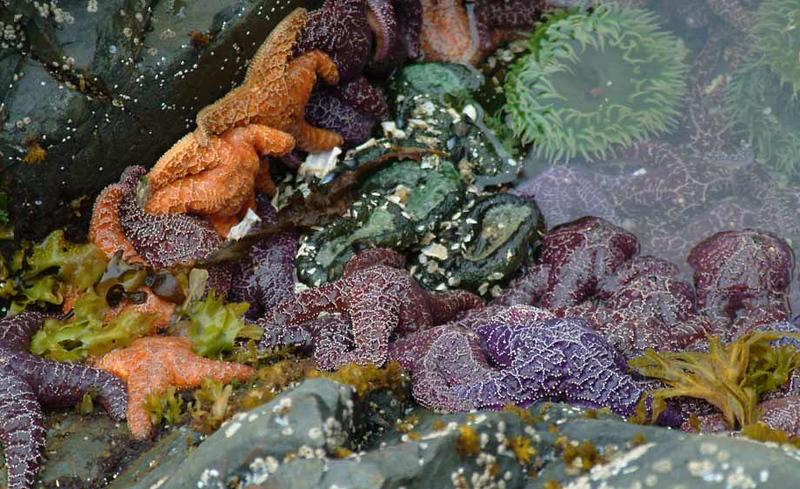 Alaskan starfish