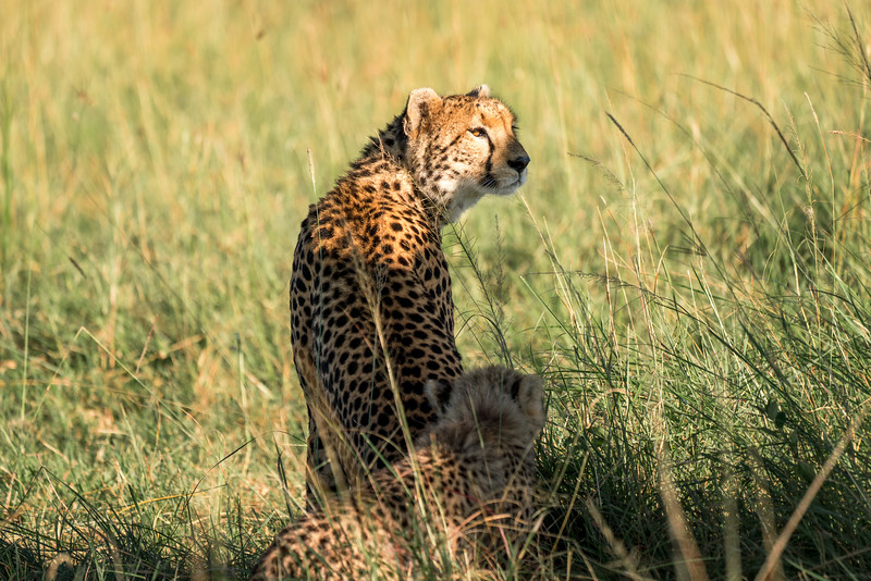 Cheetah mom and cub, Maasai Mara, Kenya