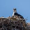 Osprey in Nest 4/17/16