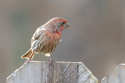 390- House Finch