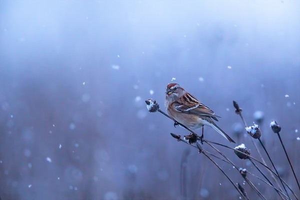 American  Tree Sparrow in Winter