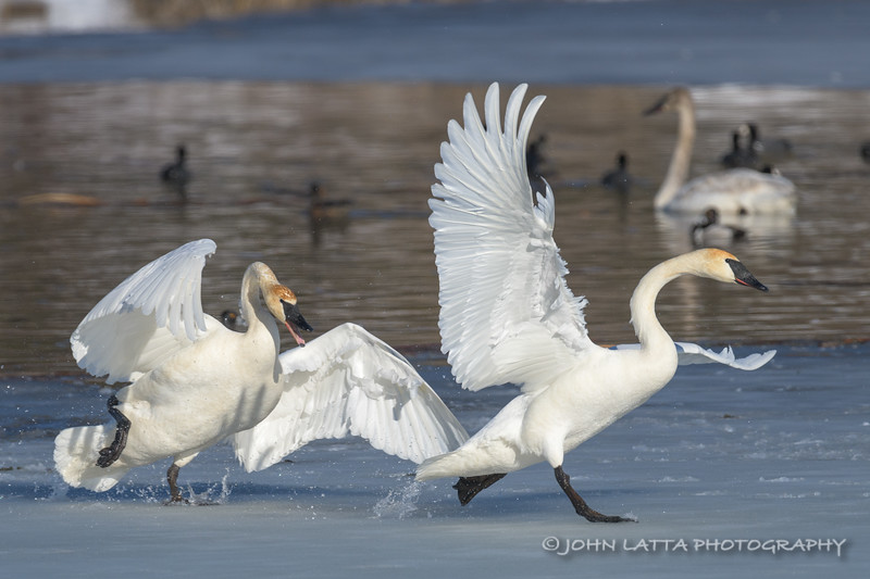 Squabbling Trumpeter Swans