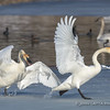 Squabbling Trumpeter Swans